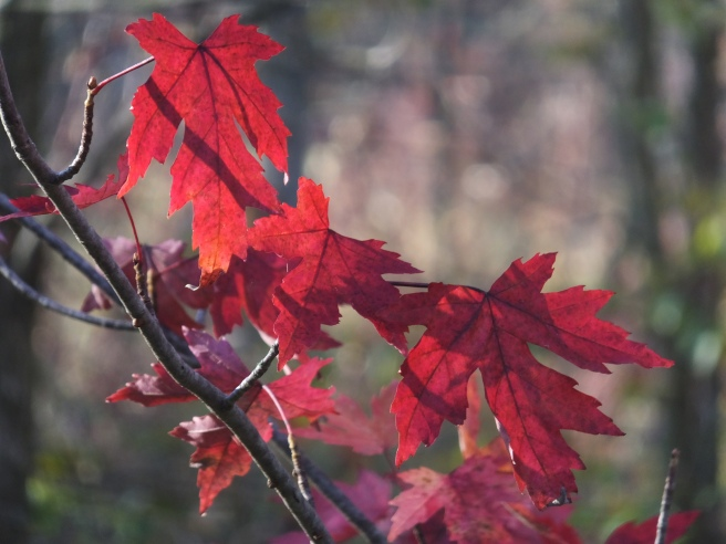 Red_Maples_Oct10_blog