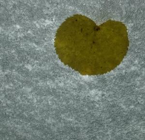 snow_leaf_moo